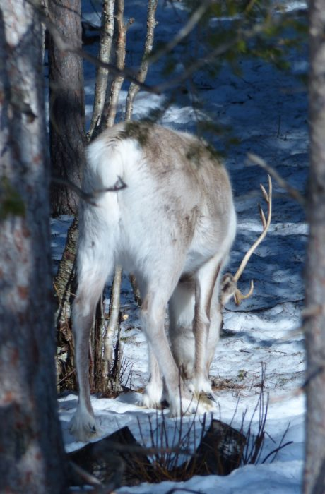 Smell is crucial for reindeer. It can smell food under snow. That helps reindeer to survive through harsh winters in Lapland.