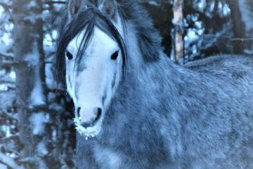 Kaunis kuin Karkki. Welsh mountain poni on kuin luotu lappilaiseen talvimaisemaan.