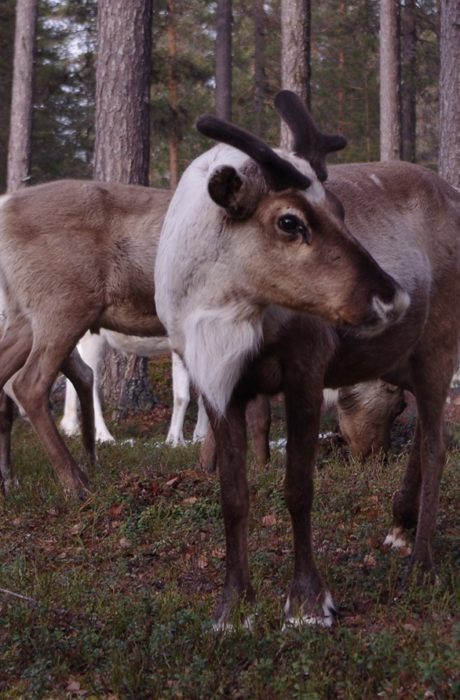 Riihitonttu is growing new antlers to the coming fights of the rutting season. Handsome boy.